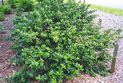 Blue Girl Meserve Holly (Ilex x meserveae 'Blue Girl') at Colonial Gardens