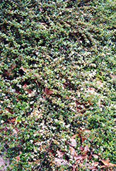 Spreading Cotoneaster (Cotoneaster divaricatus) at Colonial Gardens