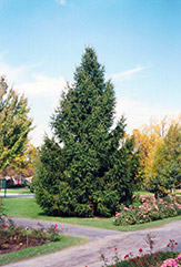 Norway Spruce (Picea abies) at Colonial Gardens