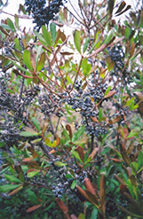 Northern Bayberry (Myrica pensylvanica) at Colonial Gardens