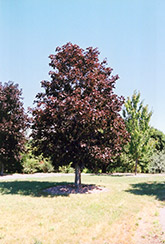 Royal Red Norway Maple (Acer platanoides 'Royal Red') at Colonial Gardens