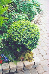Korean Boxwood (Buxus microphylla 'var. koreana') at Colonial Gardens