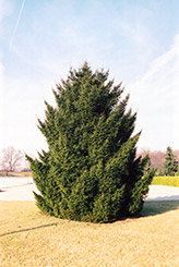 Oriental Spruce (Picea orientalis) at Colonial Gardens
