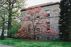 Red Flowering Dogwood (Cornus florida 'var. rubra') at Colonial Gardens