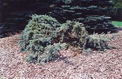Creeping Blue Spruce (Picea pungens 'Glauca Prostrata') at Colonial Gardens