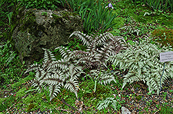 Japanese Painted Fern (Athyrium nipponicum 'Pictum') at Colonial Gardens