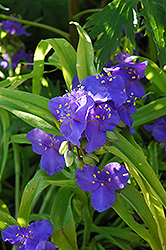 Sweet Kate Spiderwort (Tradescantia x andersoniana 'Sweet Kate') at Colonial Gardens