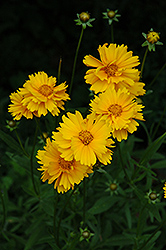 Early Sunrise Tickseed (Coreopsis 'Early Sunrise') at Colonial Gardens