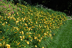 Happy Ever Appster® Happy Returns Daylily (Hemerocallis 'Happy Returns') at Colonial Gardens