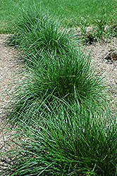 Tufted Hair Grass (Deschampsia cespitosa) at Colonial Gardens