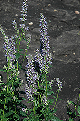 Anise Hyssop (Agastache foeniculum) at Colonial Gardens
