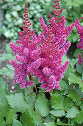 Visions Astilbe (Astilbe chinensis 'Visions') at Colonial Gardens