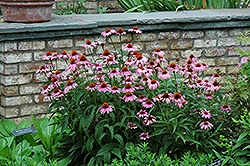 Magnus Coneflower (Echinacea purpurea 'Magnus') at Colonial Gardens