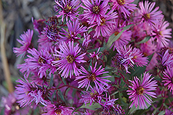 Woods Pink Aster (Aster 'Woods Pink') at Colonial Gardens