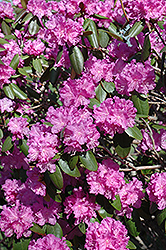 P.J.M. Rhododendron (Rhododendron 'P.J.M.') at Colonial Gardens
