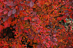 Rose Glow Japanese Barberry (Berberis thunbergii 'Rose Glow') at Colonial Gardens
