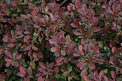 Royal Burgundy Japanese Barberry (Berberis thunbergii 'Gentry') at Colonial Gardens