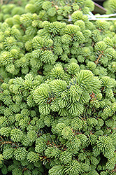 Little Gem Spruce (Picea abies 'Little Gem') at Colonial Gardens