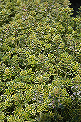 Lemon Thyme (Thymus x citriodorus) at Colonial Gardens