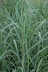 Heavy Metal Blue Switch Grass (Panicum virgatum 'Heavy Metal') at Colonial Gardens