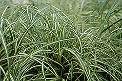 Evergold Variegated Japanese Sedge (Carex oshimensis 'Evergold') at Colonial Gardens