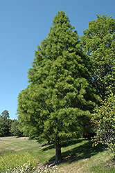 Pond Cypress (Taxodium distichum 'var. nutans') at Colonial Gardens