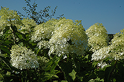 Phantom Hydrangea (Hydrangea paniculata 'Phantom') at Colonial Gardens