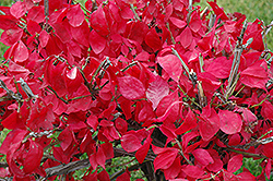 Dwarf Burning Bush (Euonymus alatus 'Compactus') at Colonial Gardens