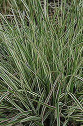 Variegated Reed Grass (Calamagrostis x acutiflora 'Overdam') at Colonial Gardens