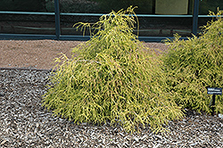 Sungold Falsecypress (Chamaecyparis pisifera 'Sungold') at Colonial Gardens