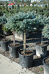 Globe Blue Spruce (tree form) (Picea pungens 'Globosa (tree form)') at Colonial Gardens