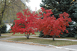 Flame Amur Maple (Acer ginnala 'Flame') at Colonial Gardens