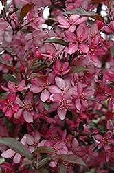 Royal Raindrops Crabapple (Malus 'Royal Raindrops') at Colonial Gardens