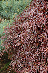 Red Select Cutleaf Japanese Maple (Acer palmatum 'Dissectum Red Select') at Colonial Gardens