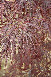 Garnet Cutleaf Japanese Maple (Acer palmatum 'Garnet') at Colonial Gardens