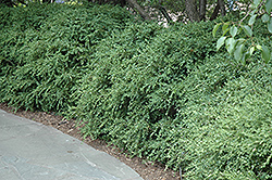 Wintergreen Boxwood (Buxus microphylla 'Wintergreen') at Colonial Gardens