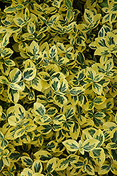 Emerald 'n' Gold Wintercreeper (Euonymus fortunei 'Emerald 'n' Gold') at Colonial Gardens