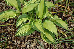 Rainbow's End Hosta (Hosta 'Rainbow's End') at Colonial Gardens