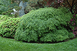 Green Cutleaf Japanese Maple (Acer palmatum 'Dissectum Viridis') at Colonial Gardens