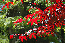 Emperor I Japanese Maple (Acer palmatum 'Wolff') at Colonial Gardens