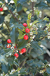 Berri-Magic Kids Meserve Holly (Ilex x meserveae 'Berri-Magic Kids') at Colonial Gardens