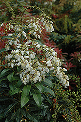 Mountain Fire Japanese Pieris (Pieris japonica 'Mountain Fire') at Colonial Gardens