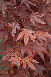 Fireglow Japanese Maple (Acer palmatum 'Fireglow') at Colonial Gardens