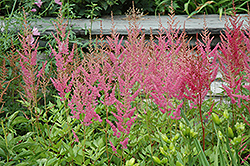 Visions in Pink Chinese Astilbe (Astilbe chinensis 'Visions in Pink') at Colonial Gardens