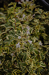 Twist of Lime™ Glossy Abelia (Abelia x grandiflora 'Hopley's') at Colonial Gardens