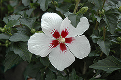 Lil' Kim® Rose of Sharon (Hibiscus syriacus 'Antong Two') at Colonial Gardens