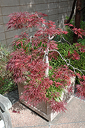 Ever Red Lace-Leaf Japanese Maple (Acer palmatum 'Ever Red') at Colonial Gardens