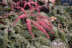 Rough Maidenhair Fern (Adiantum hispidulum) at Colonial Gardens