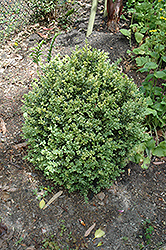 Golden Variegated Boxwood (Buxus sempervirens 'Aureovariegata') at Colonial Gardens
