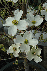 Cherokee Daybreak Flowering Dogwood (Cornus florida 'Cherokee Daybreak') at Colonial Gardens